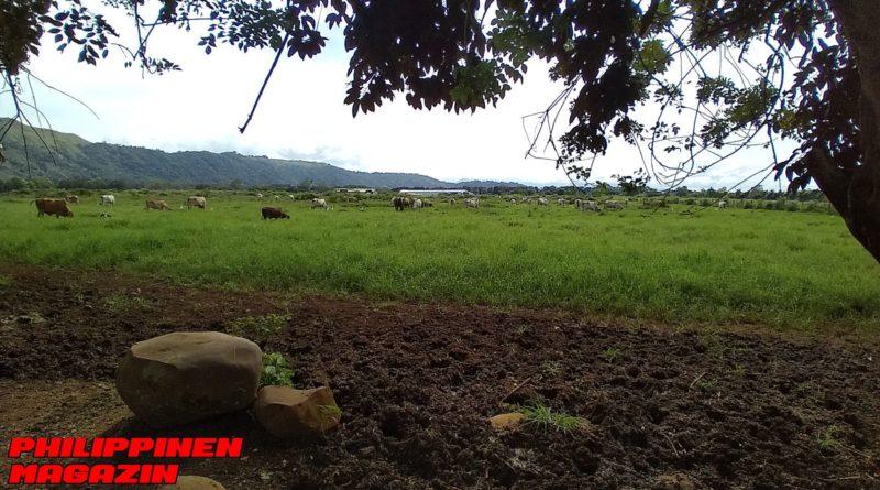 PHILIPPINEN MAGAZIN - FOTO DES TAGES - Rinder auf der Wiese in Bukidnon Foto von Sir Dieter Sokoll für Philippinen Magazin
