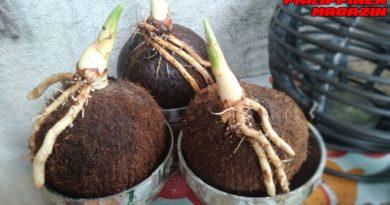 PHILIPPINEN MAGAZIN - FOTO DES TAGES - Treibende Kokosnüsse kleinhalten