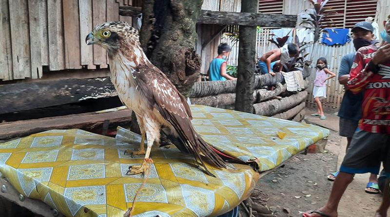 PHILIPPINEN MAGAZIN - NACHRICHTEN - Verletzter Schlangenadler gerettet