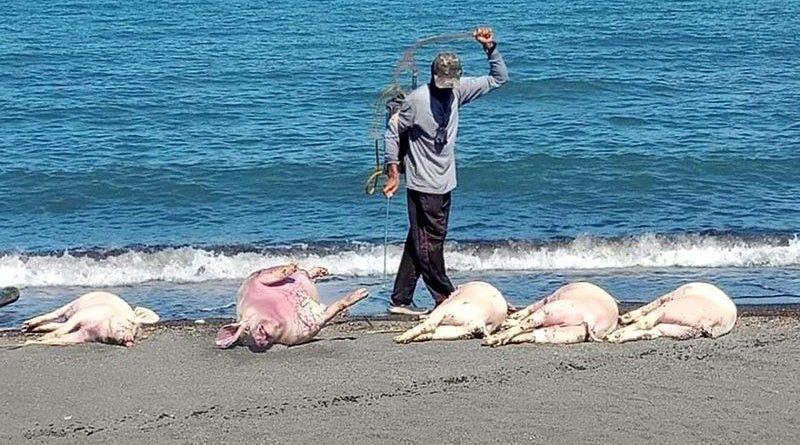 PHILIPPINEN MAGAZIN - NACHRICHTEN - Schweine-Kadaver an Mindoros Küste angeschwemmt
