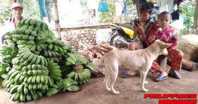 PHILIPPINEN MAGAZIN - FOTO DES TAGES - Auf dem Land - Bananenernte