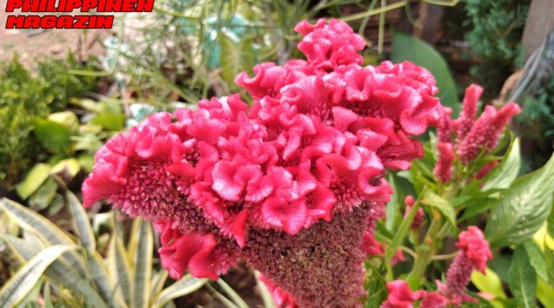 PHILIPPINEN MAGAZIN - FOTO DES TAGES - Herrliche Blüte ganz nah Foto von Sir Dieter Sokoll für PHILIPPINEN MAGAZIN