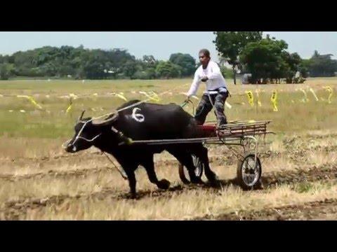 PHILIPPINEN MAGAZIN - VIDEOSAMMLUNG - Rennen der Wasserbüffel