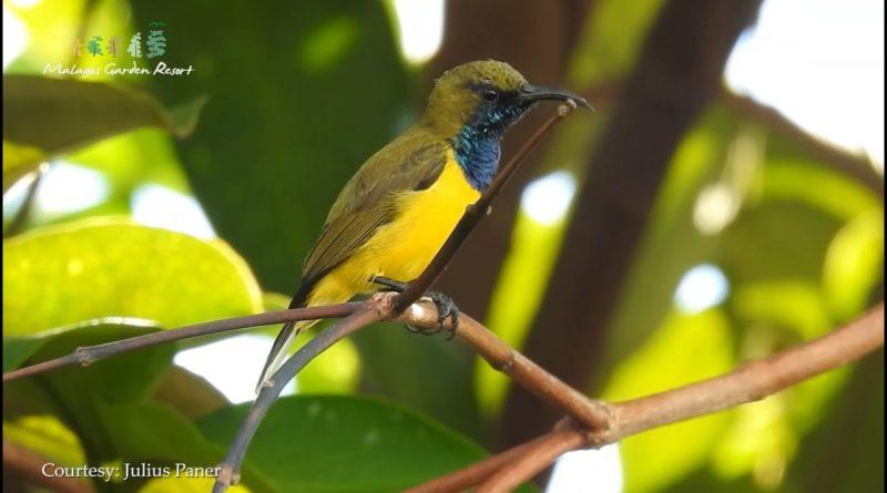 PHILIPPINEN MAGAZIN - VIDEOSAMMLUNG - Vogelbeobachtungen in Malagos Garden Davao