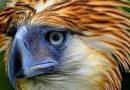 PHILIPPINEN MAGAZIN - BLOG - Philippinischer Nationalvogel – Der philippinische Adler