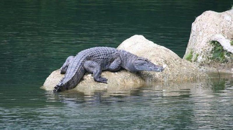 PHILIPPINEN MAGAZIN - MEIN MONTAGSTHEMA - GEFÄHRDETE ARTEN DER PHILIPPINEN - Das Philippinen Krokodil