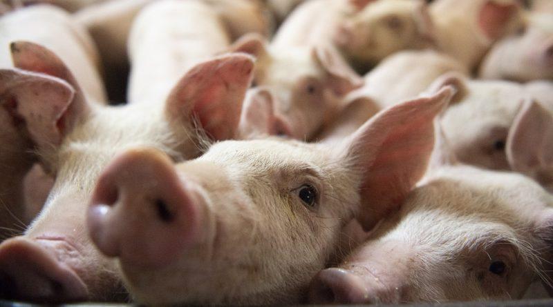 PHILIPPINEN MAGAZIN - NACHRICHTEN - Schweinepest dringt in Städte von Misamis Oriental vor