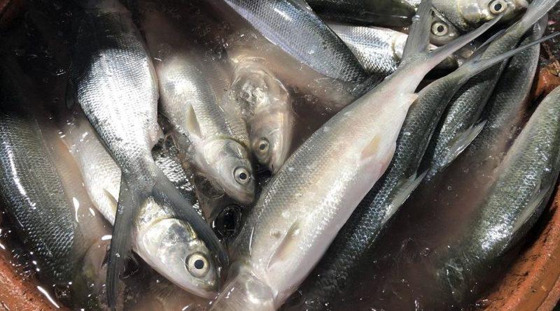 PHILIPPINEN MAGAZIN - NACHRICHTEN - Tilapia und Bangus im Wert von fast 9 Mio. P durch Fischsterben in Batangas betroffen