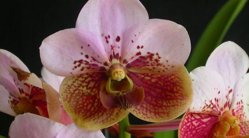 PHILIPPINEN MAGAZIN - TAGESTHEMA: 900 Orchideen-Arten