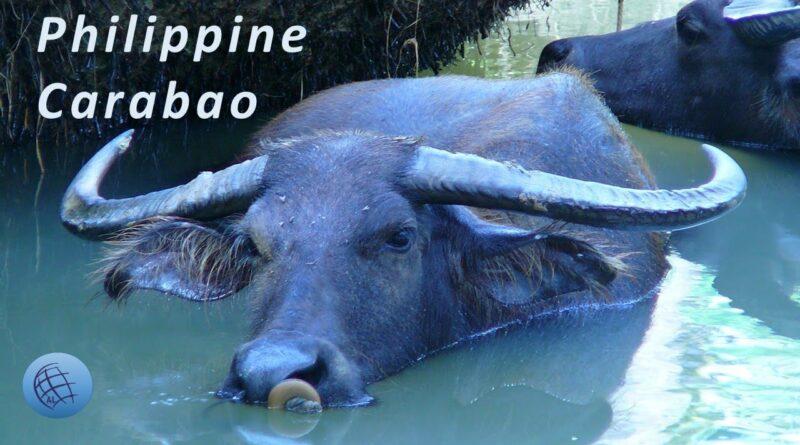 PHILIPPINEN MAGAZIN - TAGESTHEMA - Der Carabao ist das Nationaltier der Philippinen