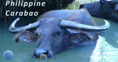 PHILIPPINEN MAGAZIN - VIDEOSAMMLUNG - Philippinischer Carabao oder Kalabaw