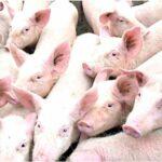 Schweinepest in der Provinz Benguet