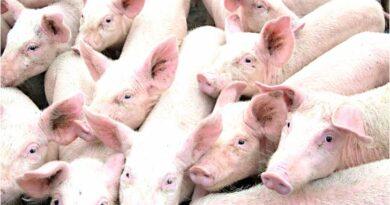 PHILIPPINEN MAGAZIN - NACHRICHTEN - Schweinepest in der Provinz Benguet