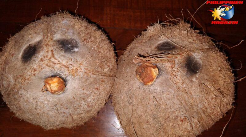 PHILIPPINEN MAGAZIN - FOTO DES TAGES - Impressionen von reifen Kokosnüssen Foto von Sir Dieter Sokoll