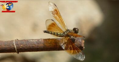 PHILIPPINEN MAGAZIN - FOTO DES TAGES - Eine Libelle bei uns im Garten