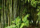 PHILIPPINEN MAGAZIN - BLOG - Bald ein schwarzer Bambustunnel in Tuburan