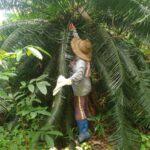 Unsere großen und kleinen Sagopalmen – Pitogopflanzen