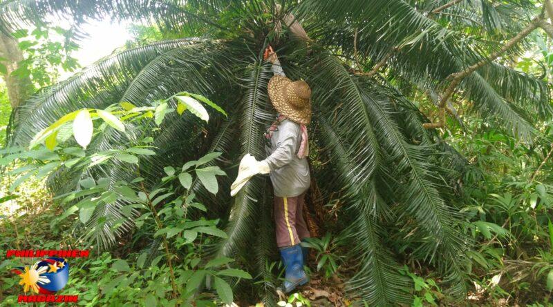 PHILIPPINEN MAGAZIN - BLOG - Unsere großen und kleinen Sagopalmen – Pitogopflanzen Foto von Sir Dieter Sokoll für Philippinen Magazin